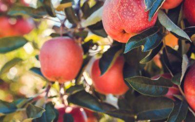 Neues aus dem Garten: So wird aus Äpfeln Saft!